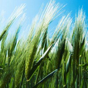 Semințe cereale PRIMĂVARĂ