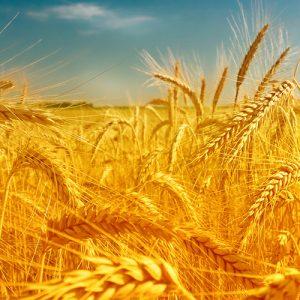 Semințe cereale TOAMNĂ