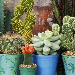 Cactuși & plante suculente