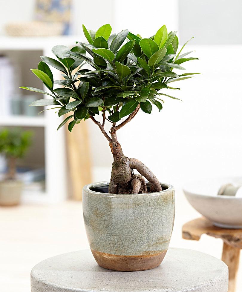 Ficus pentru tratamentul varicelor