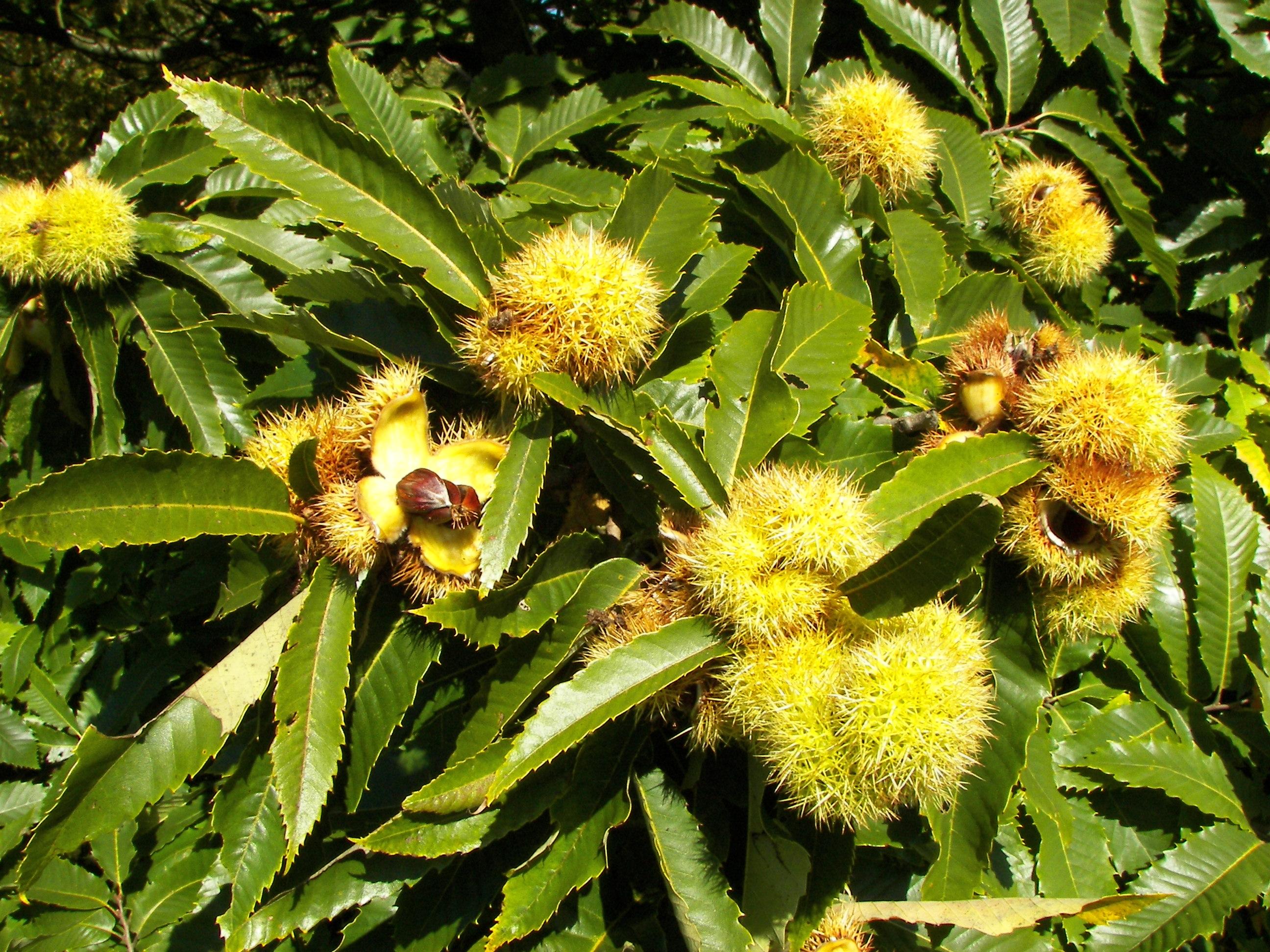 varicoză flori de castan)